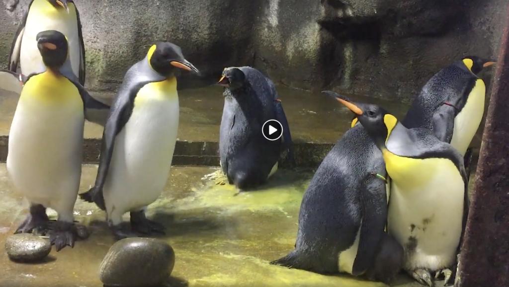 pingouins gays