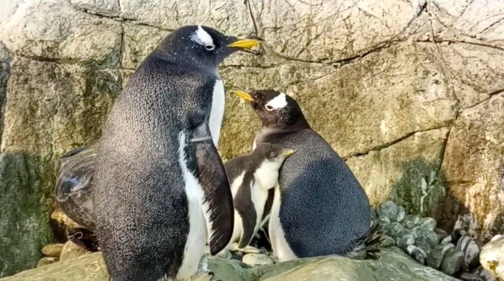 Un couple de manchots mâles du zoo d'Indianapolis vient d'avoir un bébé